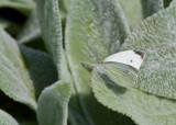 Cabbage White _MG_3605.jpg