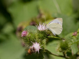 Cabbage White _MG_8383.jpg