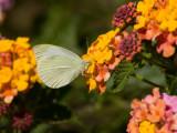 Cabbage White _S9S2552.jpg