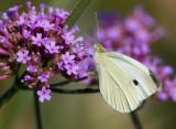 Cabbage White _S9S5380.jpg