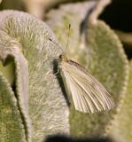 Cabbage White _S9S5729.jpg
