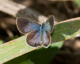 Ceraunus Blue female _I9I1314.jpg