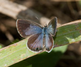 Ceraunus Blue female _I9I1315.jpg