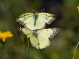 Clouded Sulphurs mating or courting (Gallery)