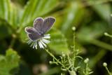 Eastern-tailed Blue female _MG_6591.jpg