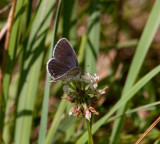 Eastern Tailed-Blue female _11R1035.jpg