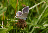 Eastern Tailed-blue female _I9I4849.jpg