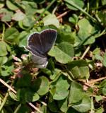 Eastern Tailed-Blue female _11R1039.jpg