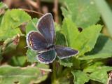 Eastern Tailed-Blue female _I9I0790.jpg
