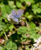 Eastern Tailed-blue male _11R8947.jpg