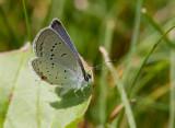 Eastern Tailed-blue _11R9611.jpg
