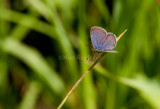 Eastern Tailed-Blue _11R0317.jpg