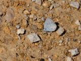 Eastern Tailed-Blue _11R0325.jpg