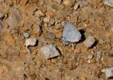 Eastern Tailed-Blue _11R0326.jpg