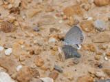 Eastern Tailed-Blue _11R0614.jpg