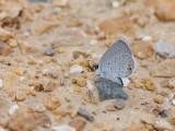 Eastern Tailed-Blue _11R0621.jpg