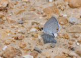 Eastern Tailed-Blue _11R0622.jpg