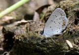 Eastern Tailed-Blue _11R1013.jpg