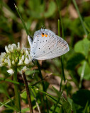 Eastern Tailed-Blue _11R1024.jpg