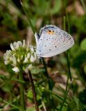 Eastern Tailed-Blue _11R1026.jpg