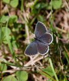 Eastern Tailed-Blue female _11R1033.jpg