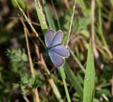 Eastern Tailed-Blue _11R2502.jpg