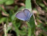 Eastern Tailed-blue _11R1852.jpg