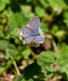 Eastern Tailed-blue _11R8946.jpg