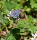 Eastern Tailed-blue _11R8949.jpg