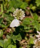 Eastern Tailed-blue _11R8953.jpg