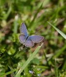 Eastern Tailed-blue male _11R8956.jpg