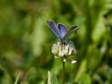 Eastern Tailed-blue male_H9G6681.jpg