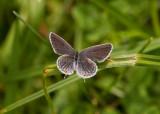 Eastern Tailed-blue female _I9I4854.jpg