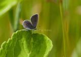 Eastern Tailed-blue female _I9I4858.jpg