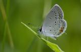 Eastern Tailed-blue _MG_1155.jpg