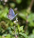 Eastern Tailed-blue _MG_7148.jpg