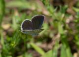 Eastern Tailed-blue female _MG_1100.jpg