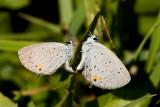 Eastern tailed-blues mating _I9I3513.jpg