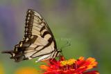 BUTTERFLIES (Lepidoptera - Papilionoidea)