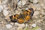 GORGONE CHECKERSPOT (Chlosyne gorgone)