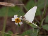 Great Southern White _I9I0589.jpg