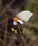 Great Southern White _I9I0603.jpg
