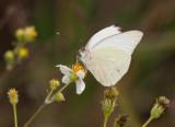 Great Southern White _I9I0620.jpg