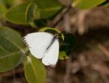 Great Southern White _I9I1205.jpg