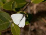 Great Southern White _I9I1207.jpg
