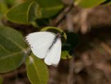 Great Southern White _I9I1208.jpg
