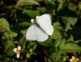 Great Southern White _I9I1364.jpg