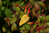 Orange-barred Sulphur _11R8317.jpg