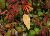 Orange-barred Sulphur _11R8318.jpg