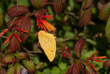 Orange-barred Sulphur _11R8319.jpg